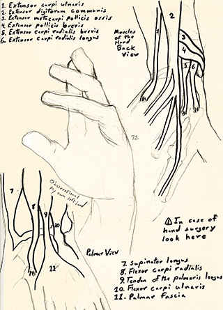 Hand Muscles Study